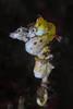 Pontohi pygmy seahorses