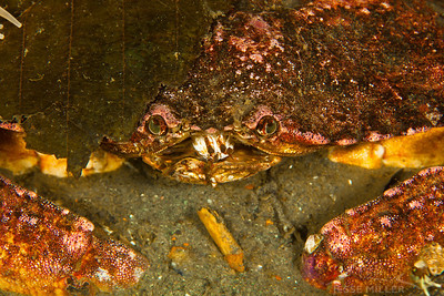 Crab - Redondo in Des Moines, Washington
