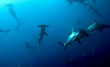 At Wolf and Darwin Islands at the north end of the island group, you can see whole squadrons of hammerheads.