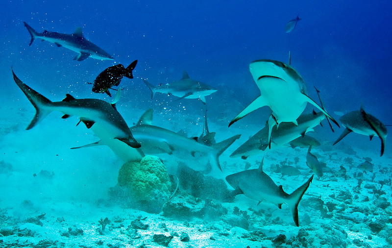 Gray reef sharks in a feeding frenzy.