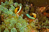 There are many kinds of anemones and anemone fish
