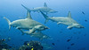 To see schools of hammerheads, head for the eastern Pacific, for example . . .