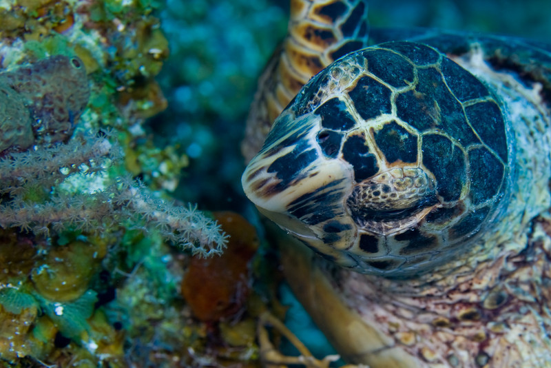 There were hawksbill turtles on every dive.  The hawksbill is distinguished from the green turtle by the four plates between the eyes (the green turtle has two).