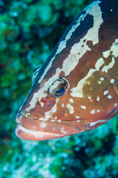 The Nassau Groupers we encountered in Bloody Bay were very friendly and wanted the divers to stroke them gently.