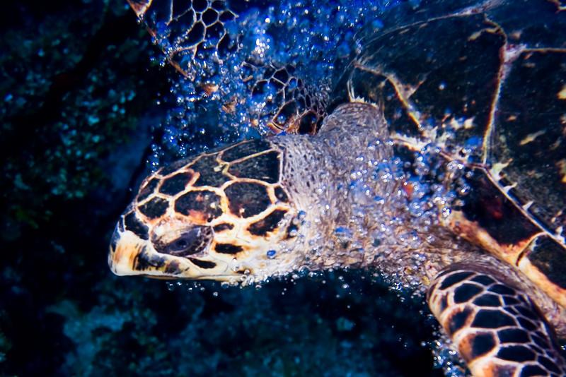 Hawksbill turtle breaking the bubble barrier.