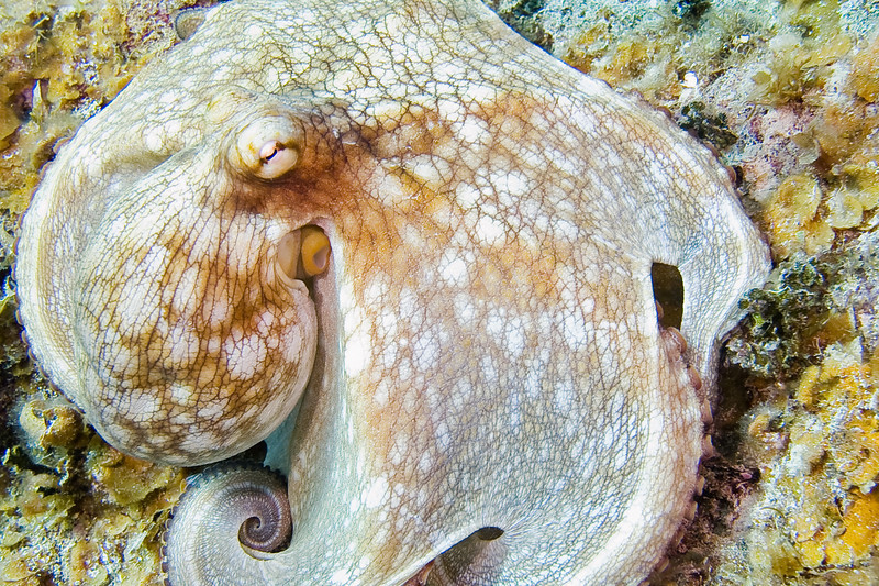 We saw octopus on almost every dive swimming in the open in the middle of the day.  Common Octopus.