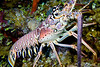 Carribean Spiny Lobster
