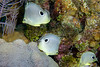 Foureye Butterflyfish most often travel in pairs.  Here was an example of a threesome.