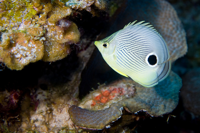 I'm just a sucker for the Foureye Butterflyfish.