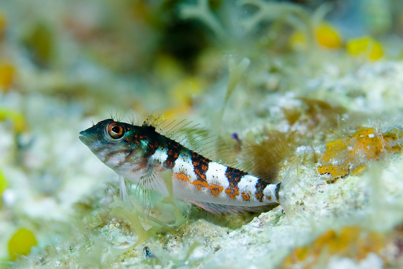 The Blennies were everywhere and the Saddled Blenny were particularly plentiful.