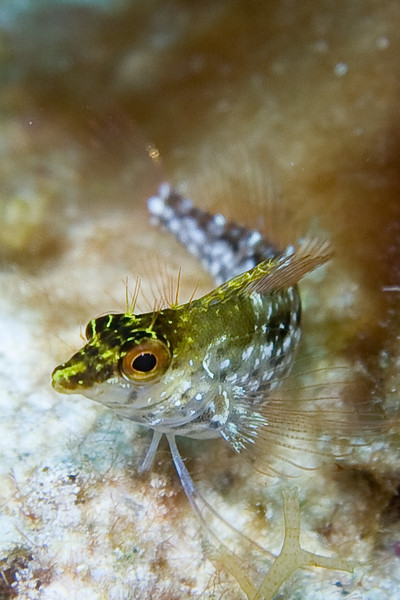 Every dive location has its own predominant fishes that you might not see other places.  The big find for me on this dive was the Daimond Blenny.