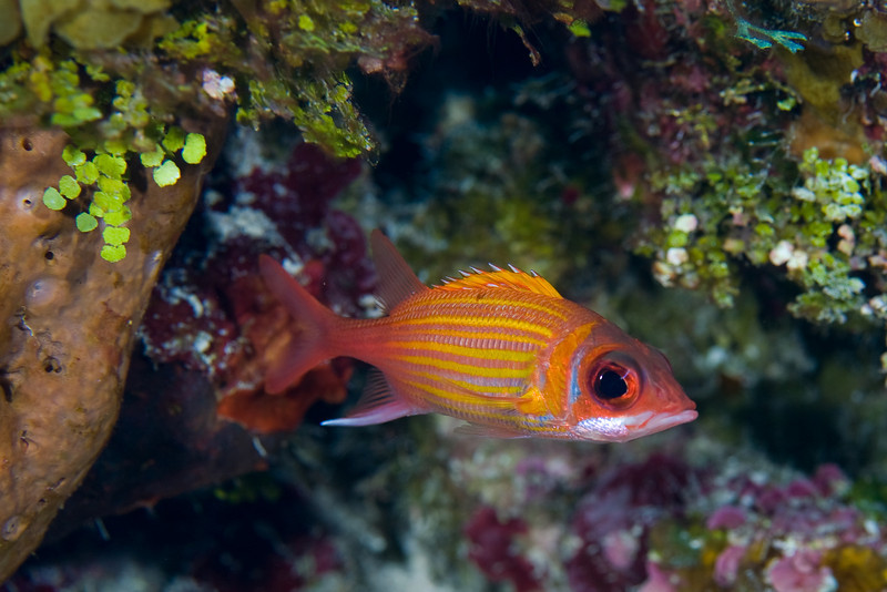 Nobody seems to photograph squirrelfish.  They are everywhere and pose fearlessly.  This is a Longjaw Squirrelfish.