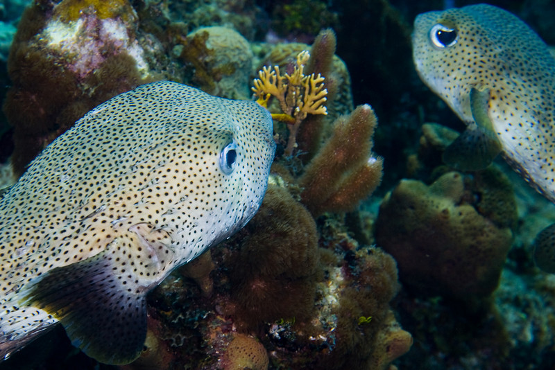 A pair of Porcupinefish.