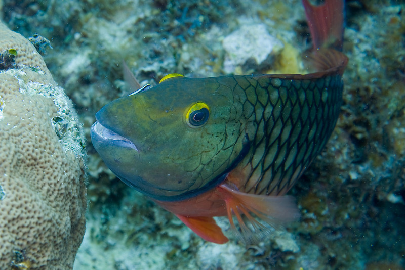 Redband Parrotfish being groomed by a Cleaning Goby.