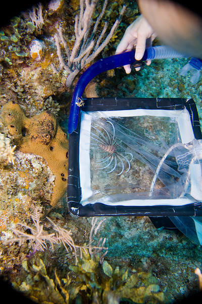 Sharon teasing a juvenile Lionfish into her trap before the kill.