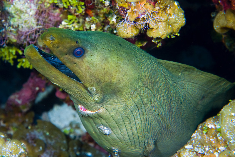 This huge Green Moray Eel was out free swimming.  When I was able to snap this photo I noticed that there was a big gash in his neck.