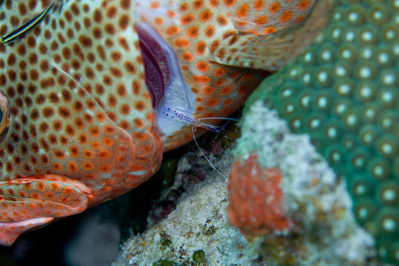 This is a Red Hind being groomed by a Cleaning Goby and a Pederson Cleaner Shrimp.