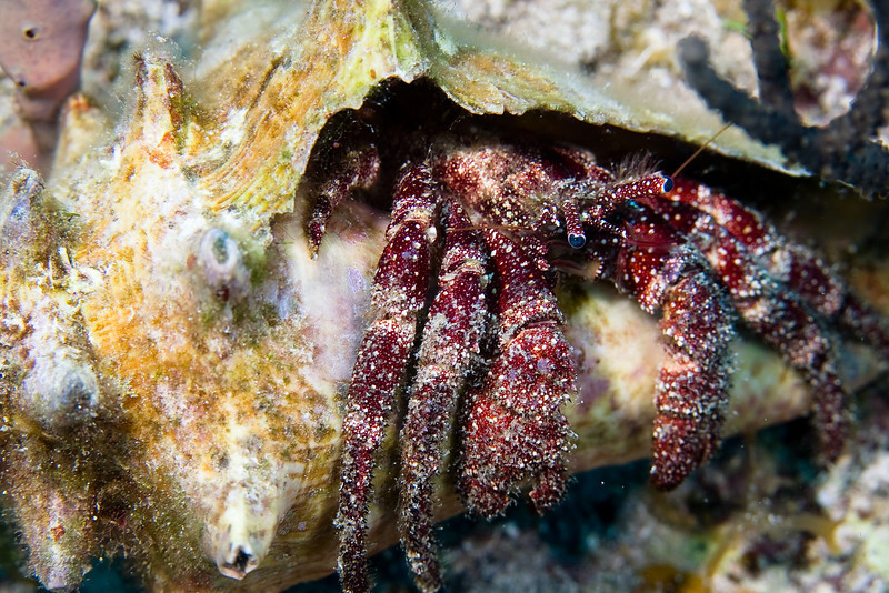White Speckled Hermit Crab