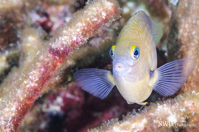 Damselfishes/Chromis