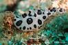 Black-Spotted Nudibranch