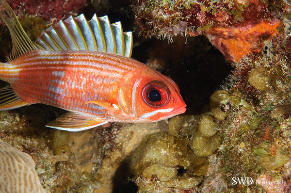 Longspine Squirrelfish