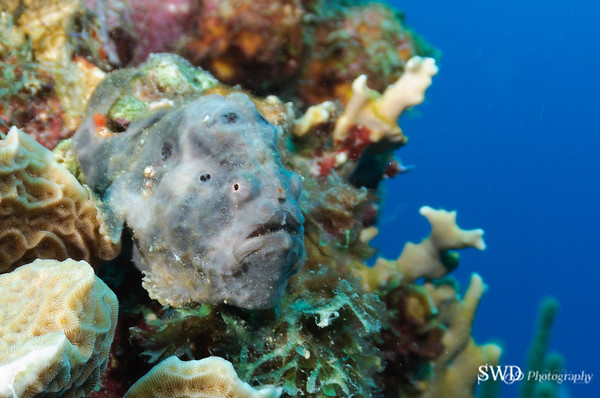 Longlure Frogfish
