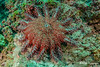 Crown of Thorns Starfish, Costa Rica