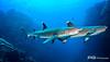 Cruising in Tandom - Whitetip Sharks, Costa Rica