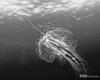 Jellyfish - Cano, Costa Rica