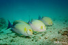Alignment - Three Yellowfin Surgeonfishes