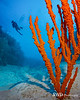 Red-Orange Branching Sponge and Diver - Grand Cayman