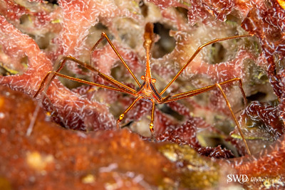 Yellow Arrowline Crab