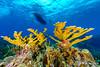 Elkhorn Coral Below the Dive Boat