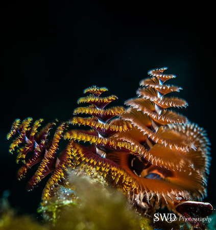 Christmas Tree Worm, Grand Cayman