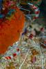 Banded Coral Shrimp, Grand Cayman