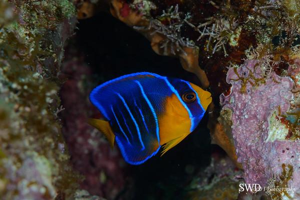 Queen Angelfish - Juvenile