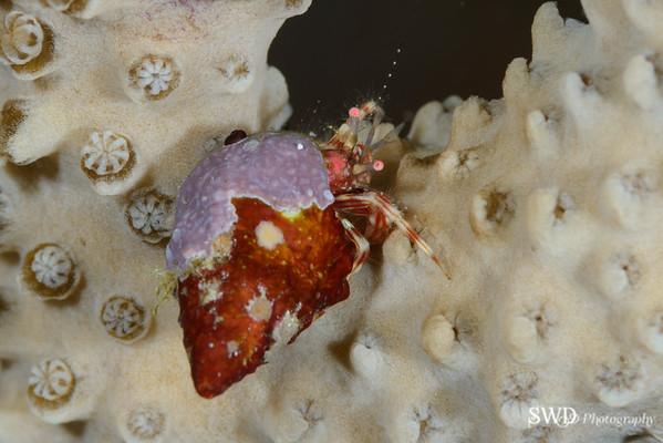 Shortfinger Hermit Crab