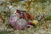 Hairy Hermit Crab