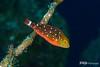 Stoplight Parrotfish Juvenile