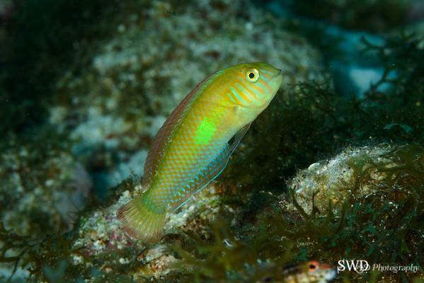 Green Razorfish