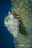 Shortfinger Hermit Crab on a Porous Sea Rod (Gorgonian), Grand Cayman
