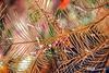 Decorator Crab and Arrow Shrimp on Black Coral