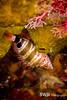 Redspotted Hawkfish - Grand Cayman