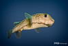 Porcupinefish - Grand Cayman