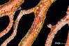 Red Clingfish