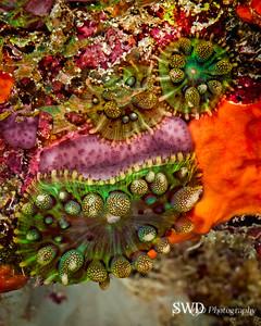 Warty Corallimorph