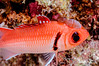 Blackbar Soldierfish with Isopod
