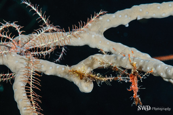 Decorator Crab and Swimming Crinoid