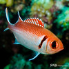 Blackbar Soldier Fish