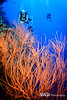 Gorgonian with Tom